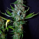 sagarmatha-diamond-head-growmart