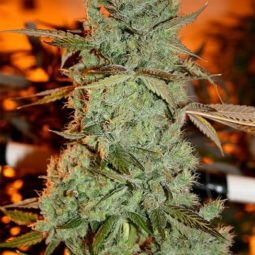 strawberry-diesel-sagaramatha-seeds-growshop-growmart