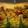 sweet-seeds-mix-autoflower-growshop-growmart