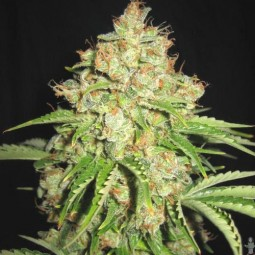 growmart-white-russian-auto