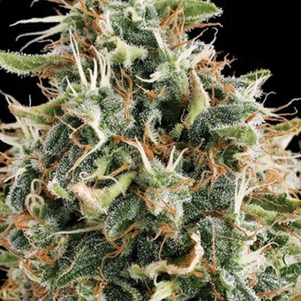 Vision White Widow