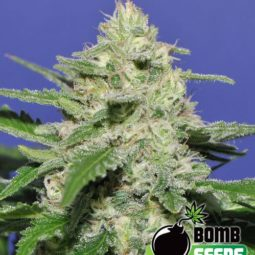 growmart-widow-bomb