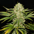 growmart-wreckage-th-seeds