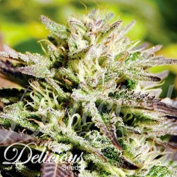 Caramelo-F1-Fast-Version-growmart-Delicious-Seeds