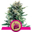 growmart-royal-queen-seedsblue-cheese