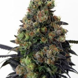 growmart-ripper-seeds-acid-dough