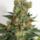 growmart-ripper-seeds-fuel-og-palice