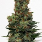 growmart-ripper-seeds-ripper-badazz