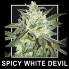 SPICY WHITE DEVIL seminka 2