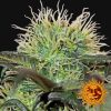 seminka-super-travky-bad-azz-kush-3