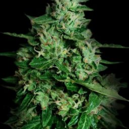 Legendární semena konopí Northern Delights Auto